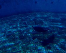 A dolphin diving in and out of the water in it's tank, uShaka Marine World Stock Footage