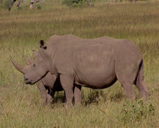 A rhino and her baby standing in the bush Stock Footage