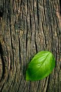 Green leaf of basil on grungy wooden background Stock Photos