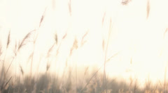Plume Reeds in Bright Sunlight - 29,97FPS NTSC - stock footage