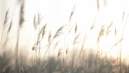 Stock Video Footage of Solftly Trembling Plume Reeds in Bright Twilight Sun Light