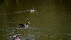 Wild geese swimming Stock Footage
