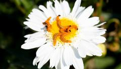 Caterpillars on a marguerite flower Stock Footage