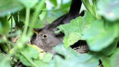 Bird warms its chicks in the nest. Stock Footage