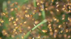 Newborn Wasp Spiders Stock Footage