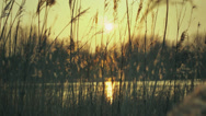 Stock Video Footage of Warm Sunset Pond With Plume Reeds