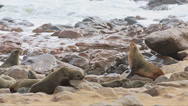 Stock Video Footage of Sea Lions