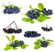 Isolated Aronia - Black Choke berry Stock Photos