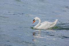 a gorgeous white swan in a lake - stock photo