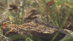 Beechnut Falling On A Stump Stock Footage