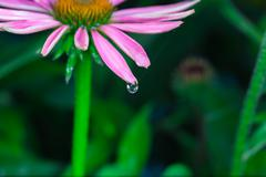 Beautiful echinacea purpurea Stock Photos