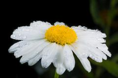 a really amazing unreal camomile - stock photo