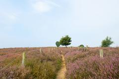 Stock Photo of heather in landscape