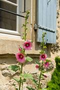 Pink hollyhock in france Stock Photos