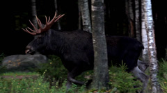 Moose bull - Slowmotion Stock Footage