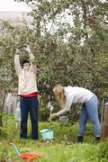 Father and daughter collecting apples in the orchard Stock Photos