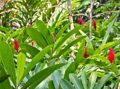 A beautiful tropical red ginger (alpinia purpurata) flower Stock Photos