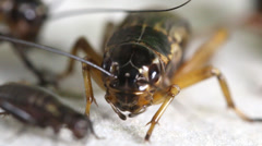 Cricket insect, macro close up mode. Stock Footage
