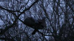 Pair of pigeons sitting on a tree and picks out lice - stock footage