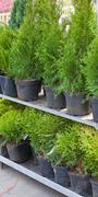 bargain sale of conifers trees and bushs - stock photo