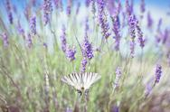 Stock Photo of butterfly at lavender bush