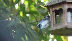 Blu jay eating on the bird feeder Stock Footage