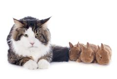 Maine coon cat and bunny Stock Photos