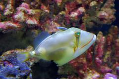 Bursa Triggerfish - stock photo