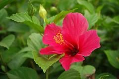 Stock Photo of hibiscus flowers