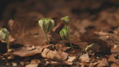 Timelapse beech trees growing from seed to small plant - stock footage