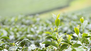 Stock Video Footage of green tea farmland of thailand