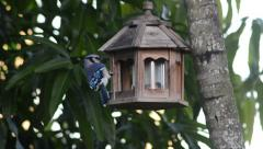 Close up of blue jay eating on the bird feeder Stock Footage