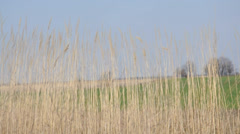 Dry grass swinging on the wind. Spring. Stock Footage
