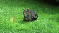 Little cat playing Stock Footage