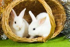 white rabbits in baske - stock photo
