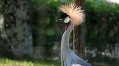 African Crowned Crane. Grou-coroado. Exotic Birds. - stock footage