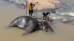 Mahouts washing and scrubbing an elephant lying down in river Stock Footage
