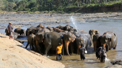 Mahouts giving elephants a last splash before they leave the river Stock Footage