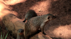 Group of meerkat babies - Suricata Suricatta Stock Footage