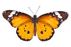 Monarch butterfly on white background Stock Photos