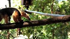 Giant anteater - Brazilian Tamanduá Bandeira 2 - stock footage