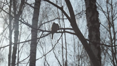 forest, sparrows - stock footage