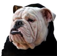 English bulldog of white background Stock Photos