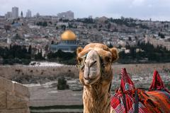 camel on the oily mountain in jerusalem against the background of gold cupola - stock photo