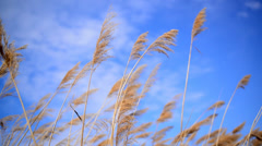 Wind blowing in the cane reed on a sunny spring day Stock Footage