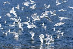 flock of Glaucous-winged Gull - stock photo