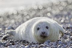 Stock Photo of Germany, Helgoland, Duene Island, Grey seal pup (Halichoerus grypus) lying at