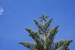 Norfolk Pine (Araucaria heterophylla) Stock Photos