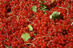 Redcurrants (Ribes rubrum), close-up Stock Photos