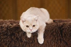 British Shorthair Cat lying on brown faux fur Stock Photos